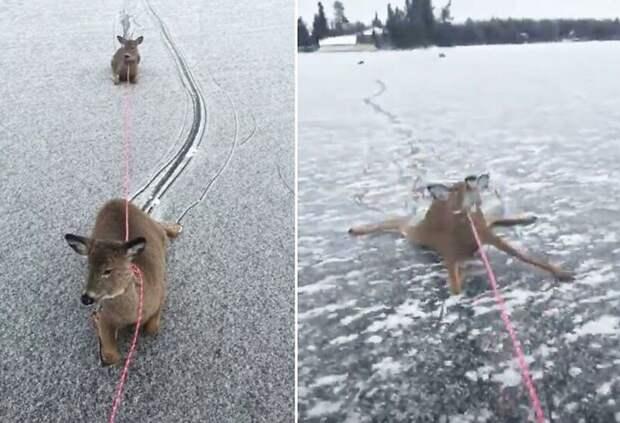 Мужчина спас оленей, застрявших на замерзшем озере