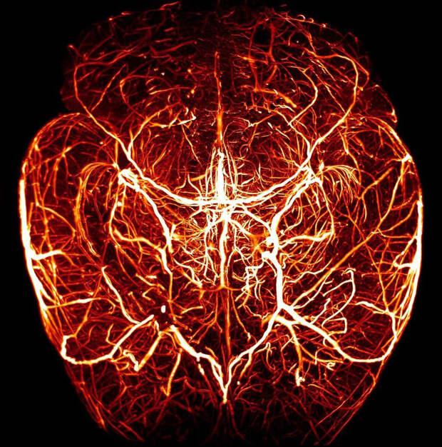 Макромир сердечно-сосудистой системы
