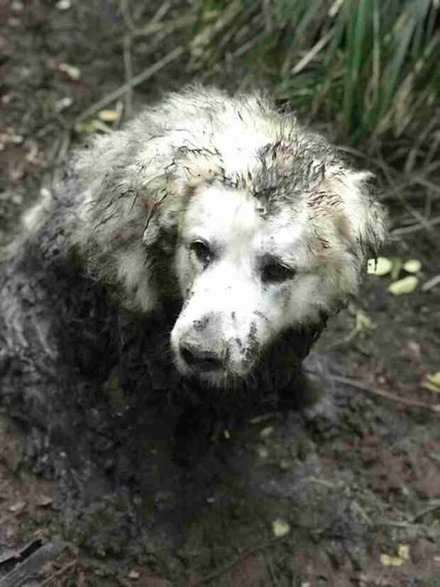 Поисковая собака находит огромного пса, просидевшего в болоте 2 дня