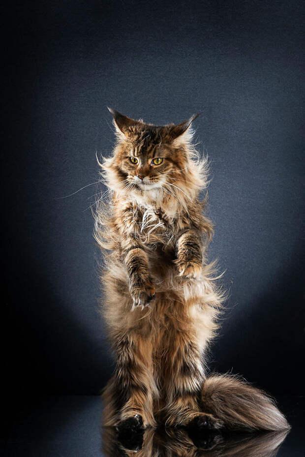 9 смешных фото котиков, которые научились стоять на двух лапах