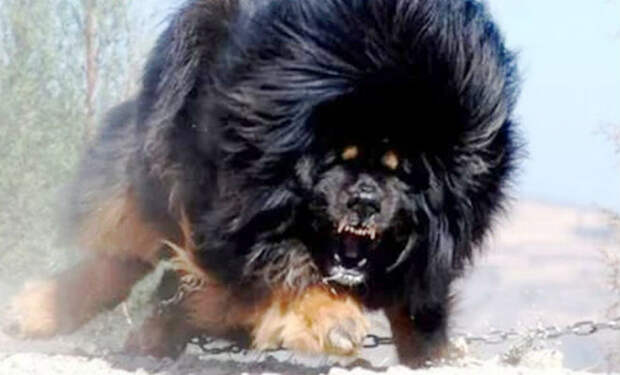 10 собак-охранников, с которыми лучше не связываться