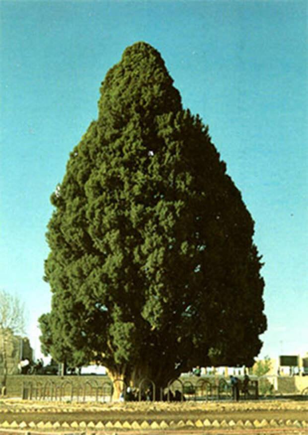 Самые древние деревья на планете