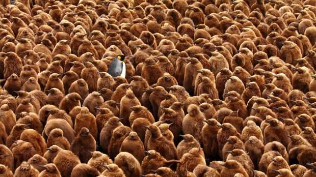 Птенцы королевского пингвина (Aptenodytes patagonicus), за которыми присматривает взрослый. Главный приз конкурса Главный приз конкурса / Chris (WC) Oosthuizen