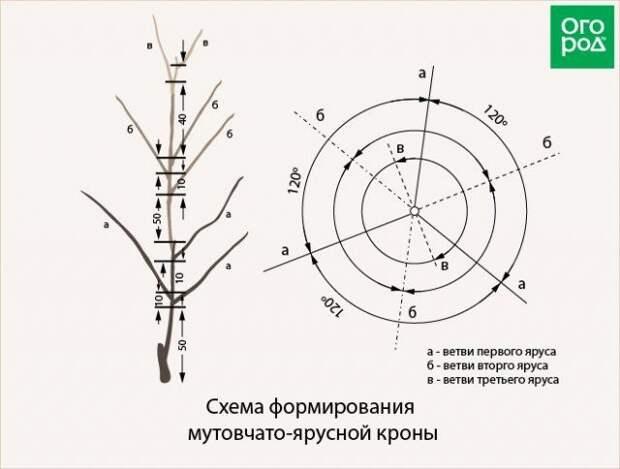 схема формирования мутовчато-ярусной кроны