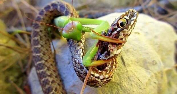 Безжалостный убийца от природы: богомол против шершней, колибри, змеи и даже игуаны
