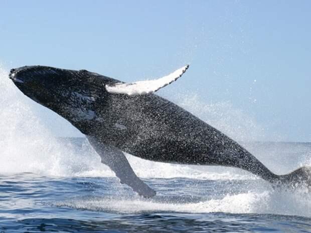 Синий-кит-животное-Описание-и-фото-синего-кита-7