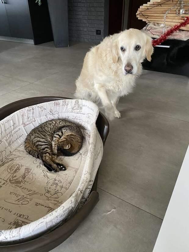 Топ-10 фотографий, на которых собаки горестно жалуются на кошек, которые отобрали их спальные места