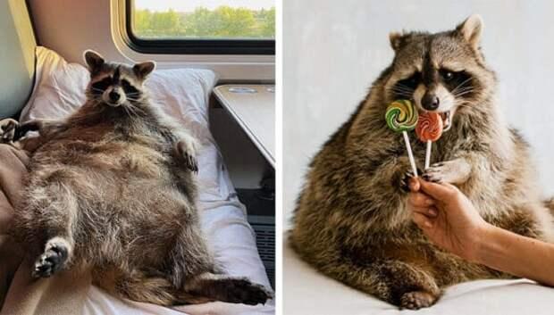 Почему толстенький енот Тема из Кемерово стал звездой соцсетей