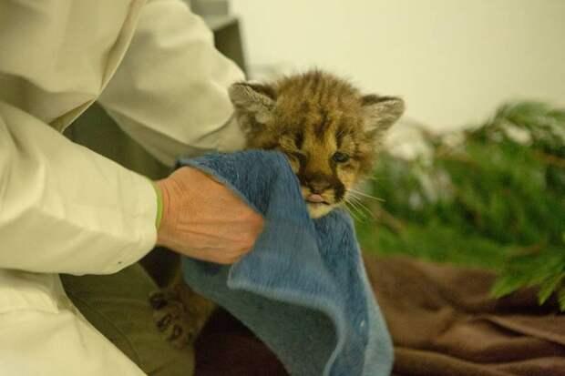 Зоопарк Орегона приютил осиротевшего пуменка