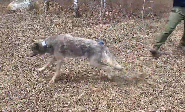 Ученые установили камеру на лесного волка и посмотрели как проходит его день. Видео