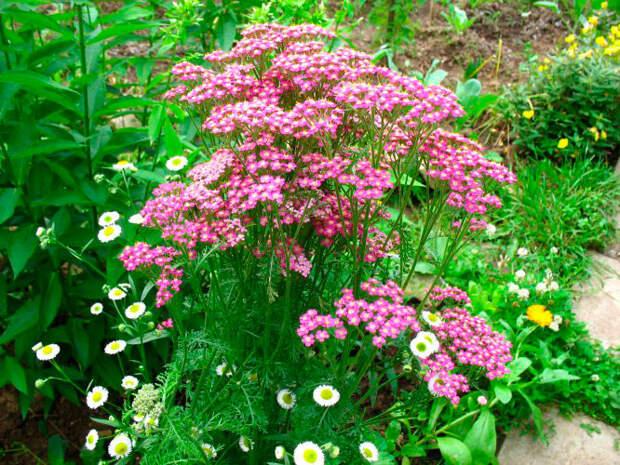 Многолетний садовый цветок Тысячелистник (Achillea)