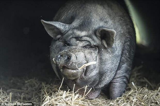 У Саймона проблемы со зрением, а ещё у него деформированы передние копытца. Поросёнка обижали другие свиньи, и Алана и Ди попросили его забрать к себе. Теперь он похудел, нашёл подружку и целыми днями наслаждается любимыми лакомствами: арбузами и дыней.