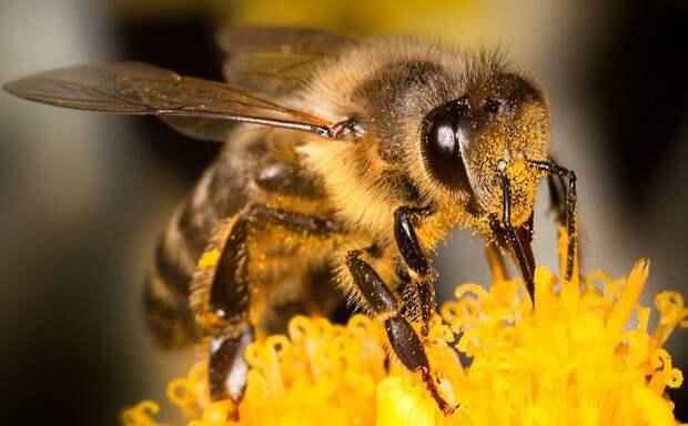 Судьба человечества полностью зависит от пчел