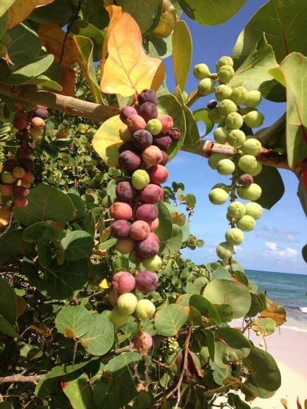 Coccoloba uvifera - морской виноград еда, интересное, неизвестные, плоды, природа, растения, съедобные, фрукты