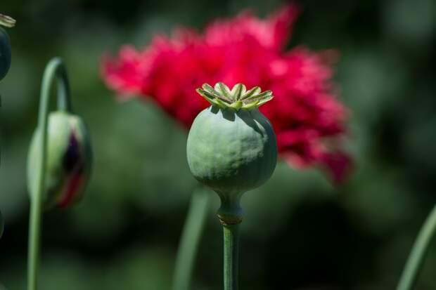 Житель Удмуртии вырастил в своем огороде более 1200 кустов мака