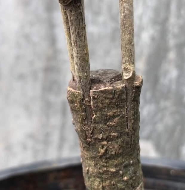 Сделайте дерево с разноцветными цветами гибискуса с помощью простой процедуры