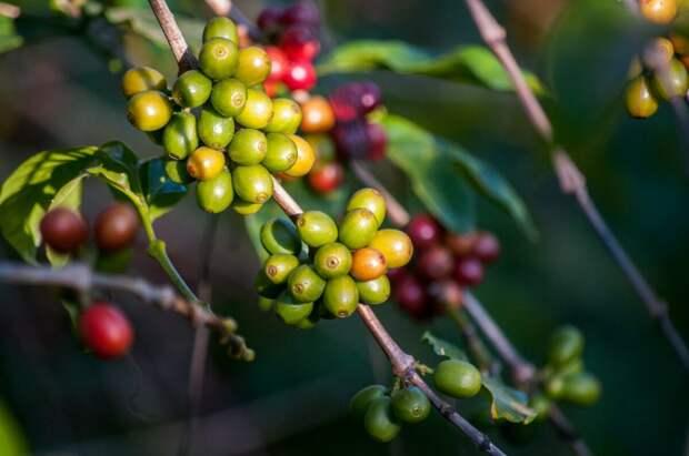 Расплата за бодрость. Как климат и коронавирус превращают кофе в роскошь