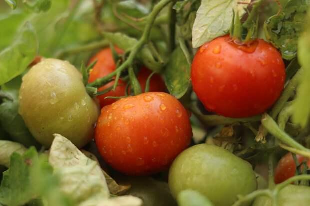 7 золотых правила для богатого урожая томата. Или как я выращиваю помидоры по советам итальянцев