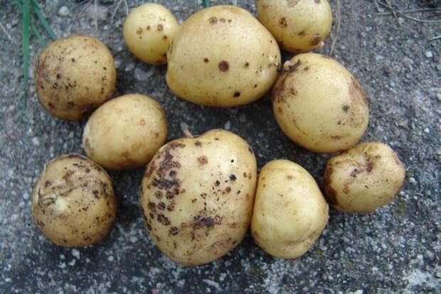 Как справиться с паршой картофеля