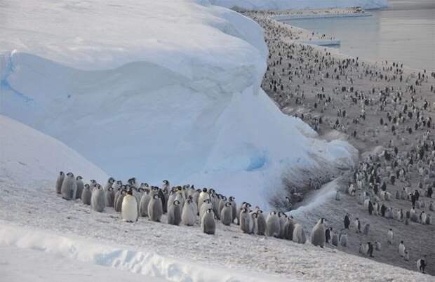 Императорским пингвинам в Антарктике вовремя не завезли презервативы