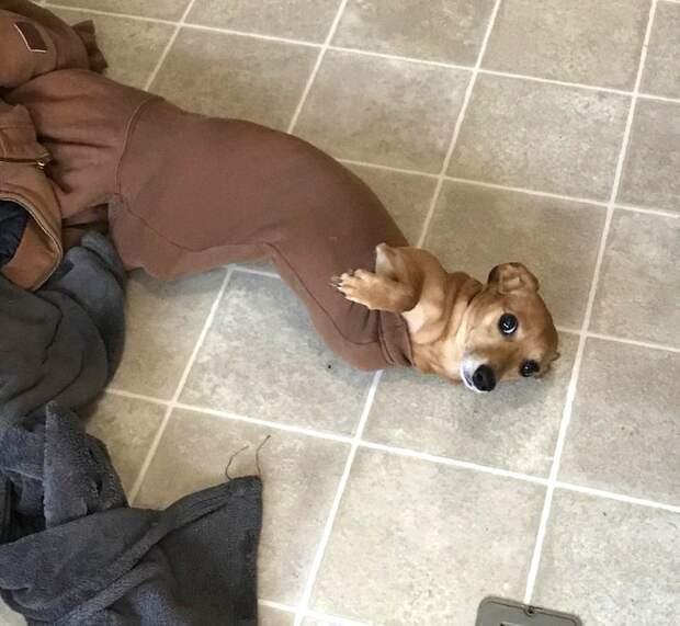 пес застрял в рукаве