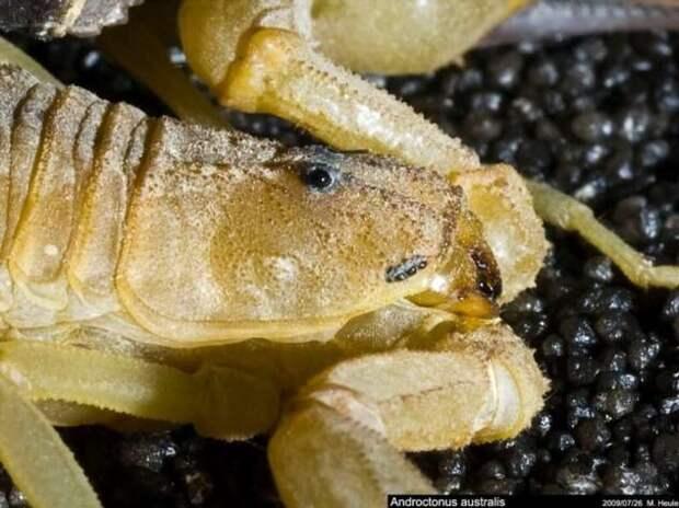 Самый ядовитый из скорпионов (15 фото + 3 видео)