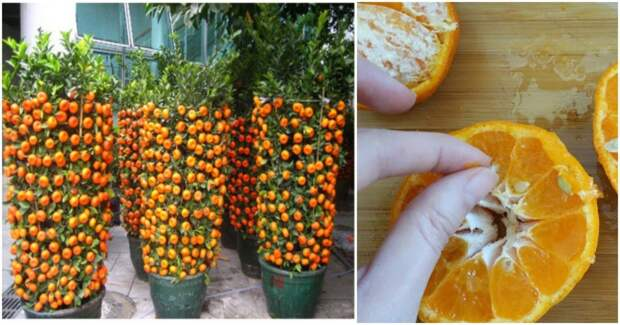 Вырастить мандарин из косточки проще, чем кажется!