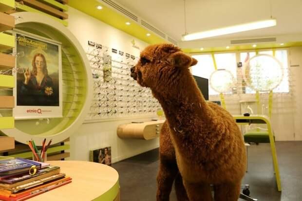 В небольшом городке Франции сбежавшая с фермы альпака решила прогуляться по магазинам альпака, животные, магазин, милота, нежданный гость, оптика