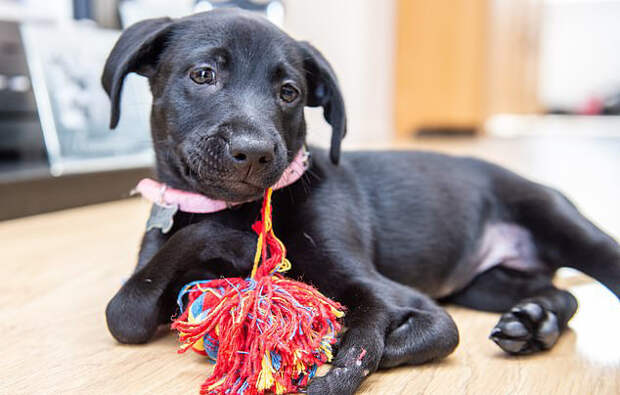 Малышка с лишней парой лапок чудом нашла любящую семью великобритания, интересное, необычное, собаки, спасение, фото