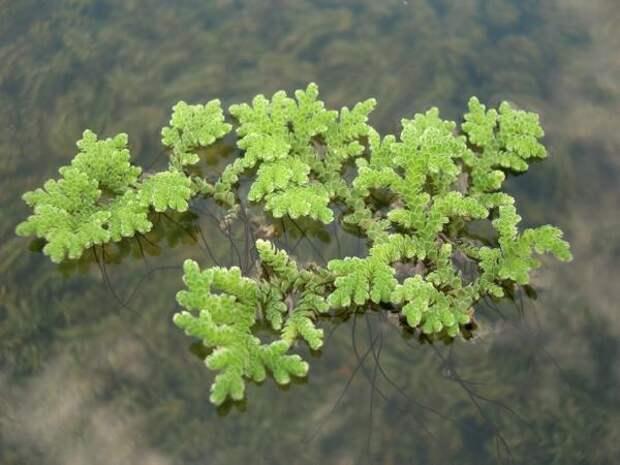 Азолла папоротниковидная - растение для домашнего пруда