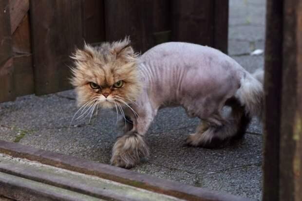 А еще… ладно, ладно, хватит брить кошек! животные, заняться не чем, кошки, полоски, тигры, ученые, шерсть