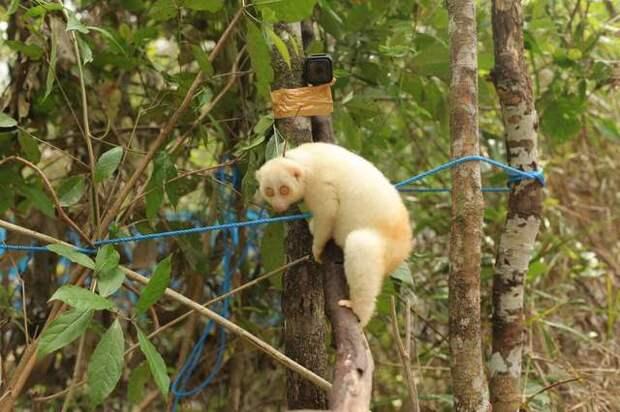 медленный лори на дереве