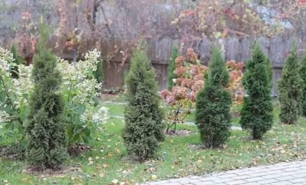 Сбрасывают ли хвойные деревья иголки зимой?