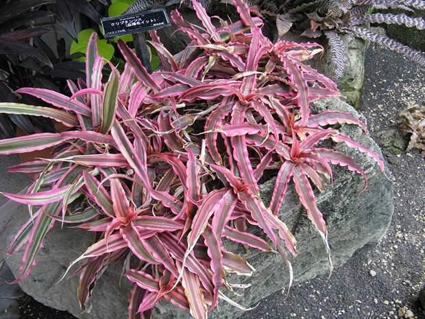 Комнатное растение Криптантус (Cryptanthus)