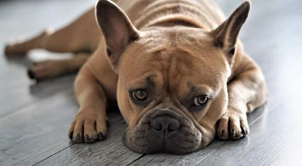 Не будить, не кантовать: 10 самых ленивых и спокойных пород собак