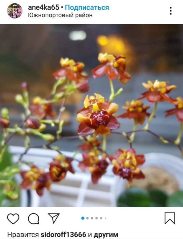 У жительницы Южнопортового зацвела орхидея с кондитерским ароматом