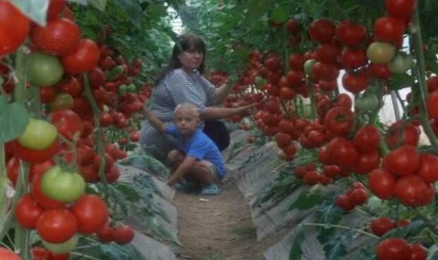 Супер-рецепт для томатов: очень эффективная подкормка.