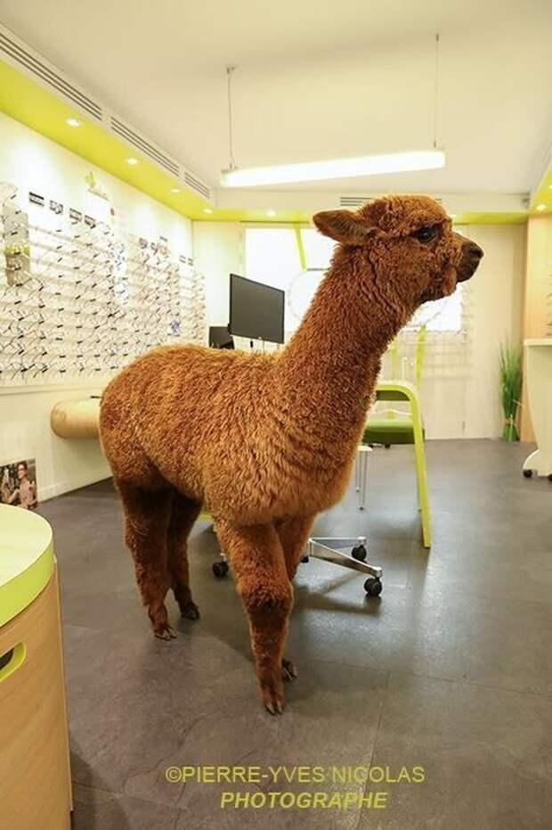Во Франции альпака зашла в магазин оптики и полчаса выбирала очки альпака, животные, магазин, милота, нежданный гость, оптика