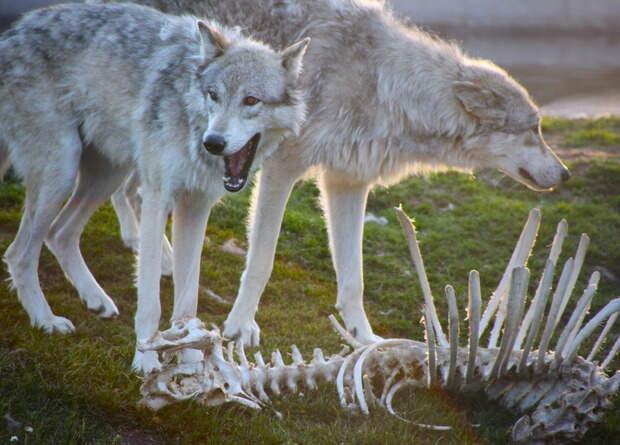 Жители Колорадо проголосовали за возвращение в штат волков