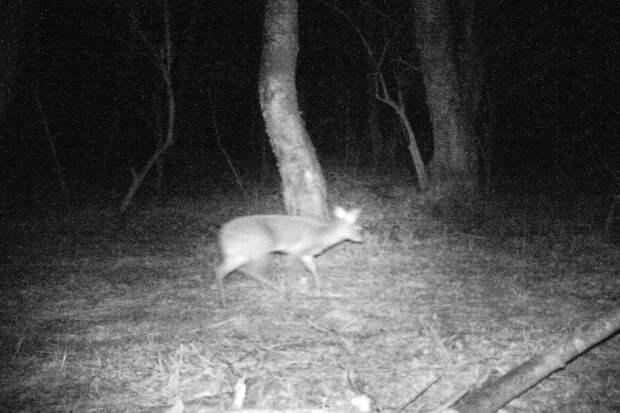 В России обнаружили водяного оленя