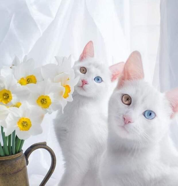 В Петербурге живут самые красивые в мире кошки-близнецы – Айрисс и Абисс