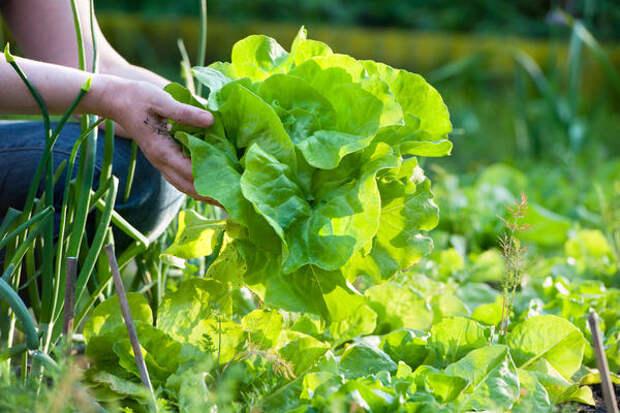Ближе всех весной будут редиска и салаты