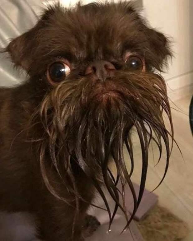 Но потом пользователи Инстаграма стали шутить по поводу милой бородки Натса Натс, борода, животные, милота, собака