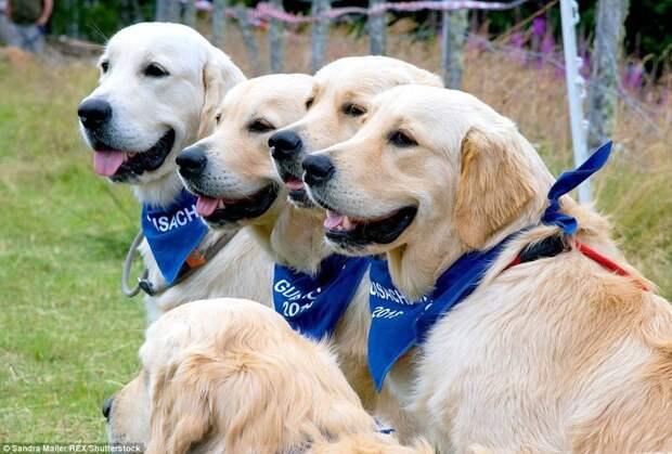 Родина золотистых ретриверов находится именно в этих местах. в мире, животные, золотистый ретривер, порода собак, породистые, праздник, собаки, фото