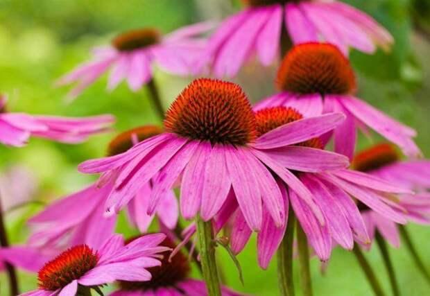 Красивые и неприхотливые многолетники для сада