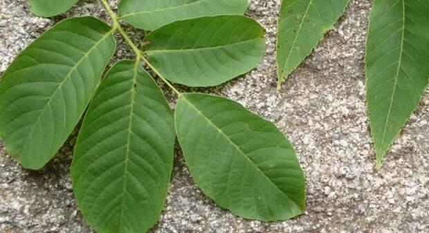 листья грецкого ореха лечебные свойства