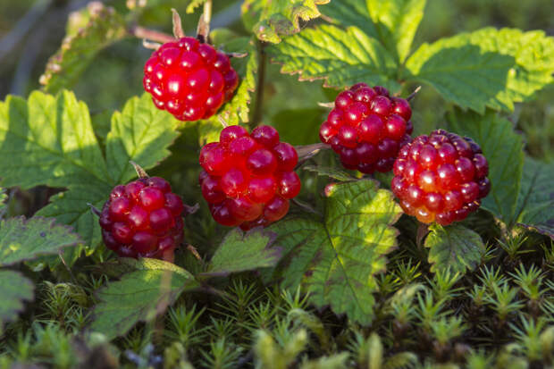 Княженика - княжеская ягода