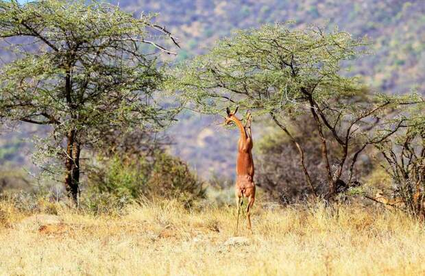 Антилопа геренук — «инопланетное» существо в африканской саванне