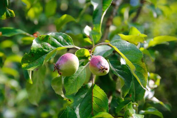 Почему в этом году яблоня не зацвела?