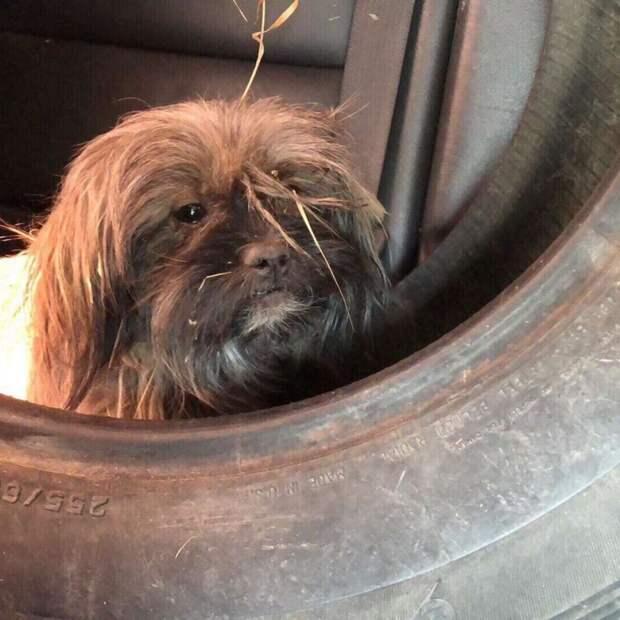 Трех комнатных собачек бросили на сельской дороге и от жары они прятались в старой шине